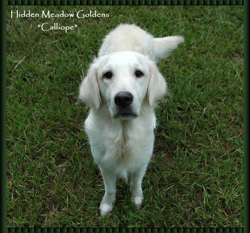 White Golden Retriever