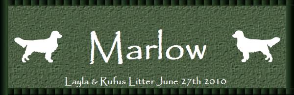 Hidden Meadow English Golden Retrievers Marlow